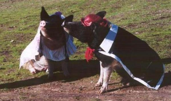Pigs Getting Married