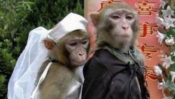 Monkeys Getting Married