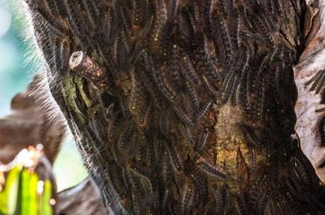 Caterpillar Swarm on a tree