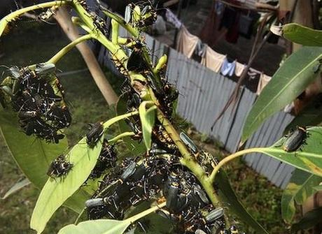 Soldier Beetles Swarm on a tree