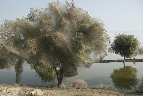Spider Swarm on a tree