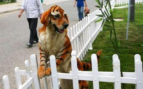 Dog that looks like a tiger