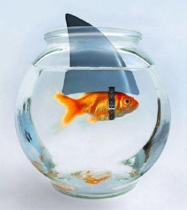 Goldfish pretending to be a shark