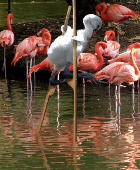Swan pretending to be a Flamingo