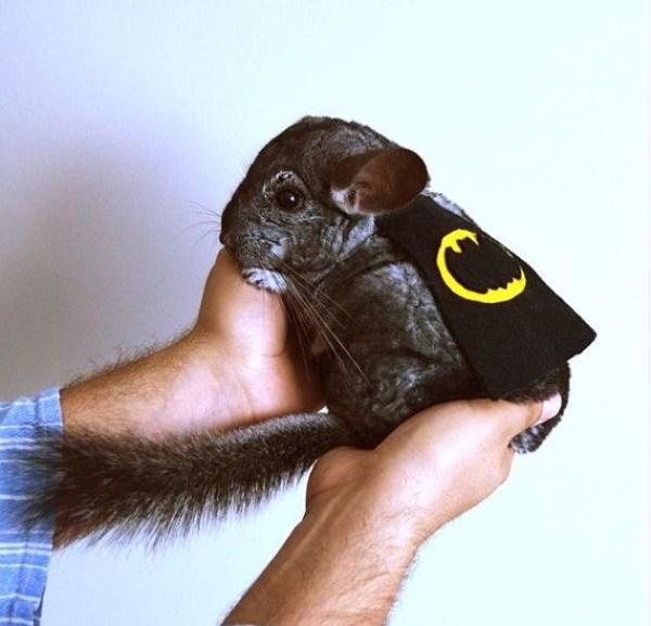 Top 10 Funny Animals Dressed as Batman