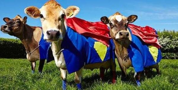 Cows in Superman Costumes