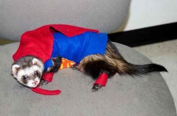Ferret in a Superman Costume