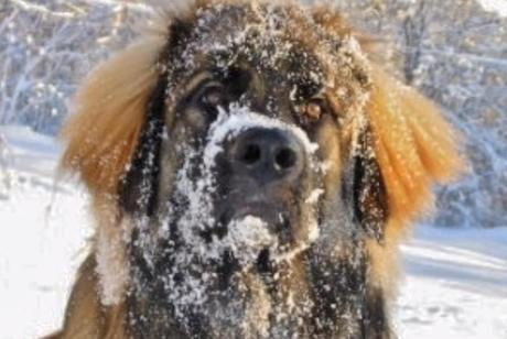 Large dogs covered in snow