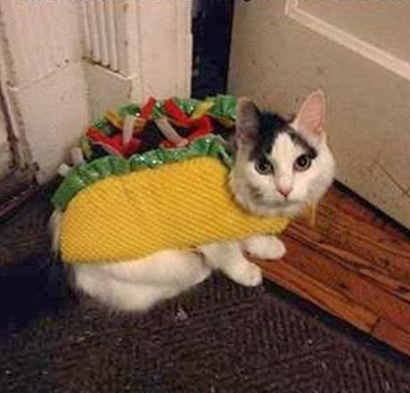 Cat Dressed as Taco