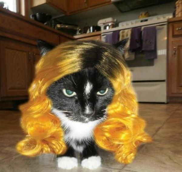 Cat wearing a wig