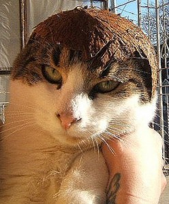 Cat Wearing a Helmet Made From Coconut