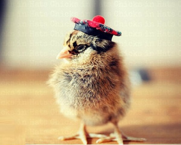Baby Chick In A Scottish Tam O Shanter Hat