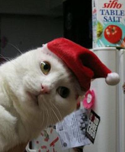 Top 10 Cats in Santa Hats