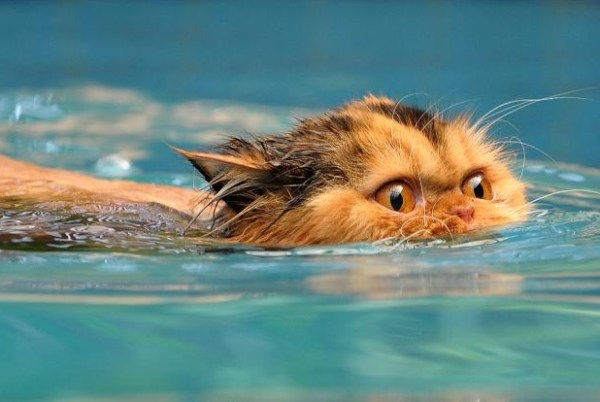 Top 10 Pictures of Cats Swimming