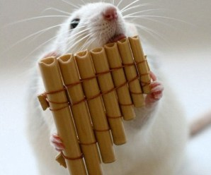 Ten Amazing Pictures of Rats Playing Musical Instruments
