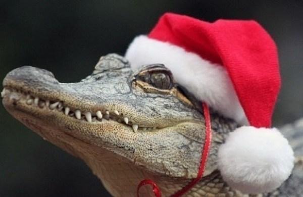Crocodile Wearing a Santa Hat