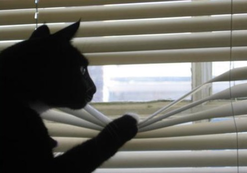 Top 10 Cats Peeking Through Blinds 10?resize=496%2C348 10 cats peeking through blinds