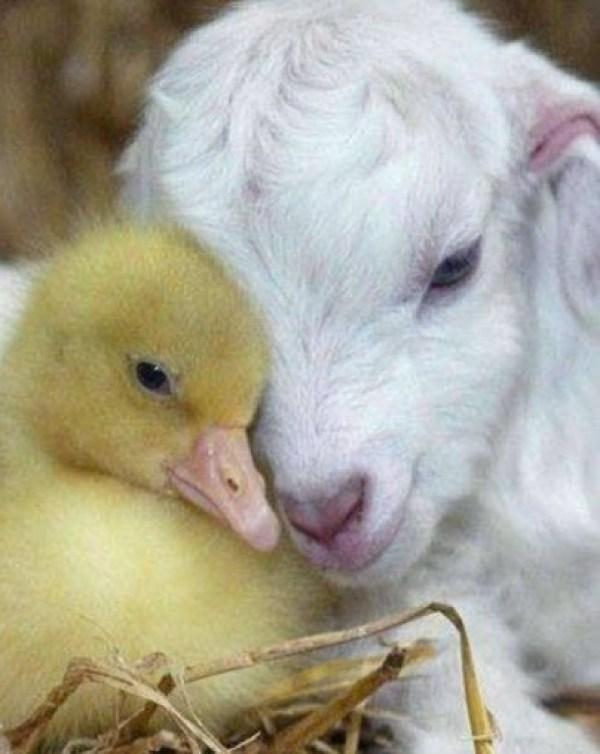 Top 10 Super Cute Images of Ducklings