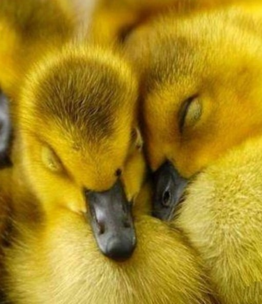 Top 10 Super Cute Images of Ducklings