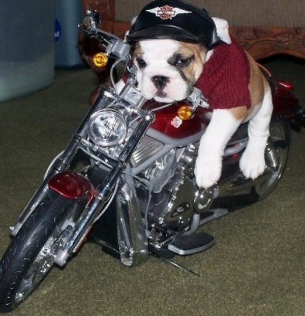 Top 10 Cute Dogs On Motorbikes