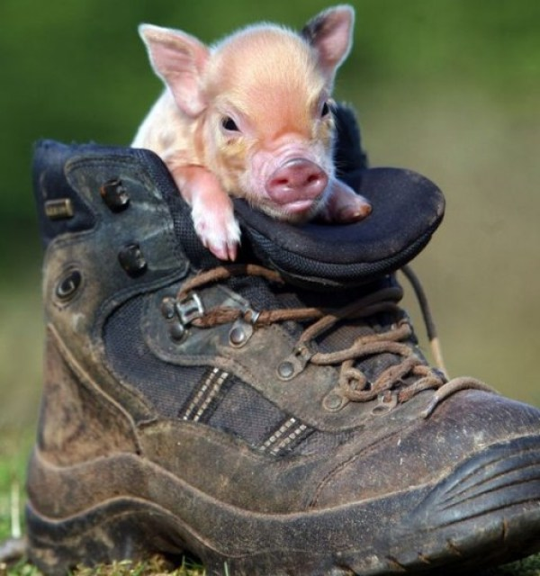Top 10 Pictures of Pigs in Boots