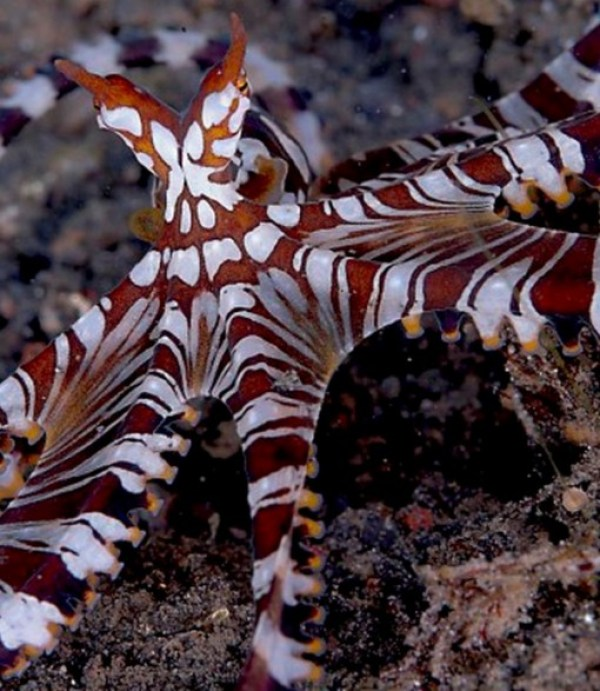 Top 10 Amazing and Unusual Octopuses