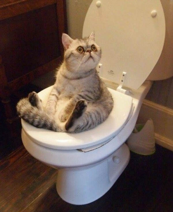 Top 10 Genius Toilet Trained Cats