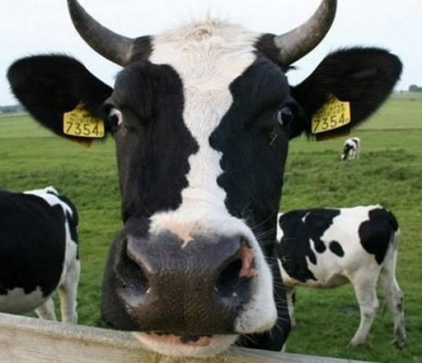 Top 10 Cows with Unusual Fur Markings