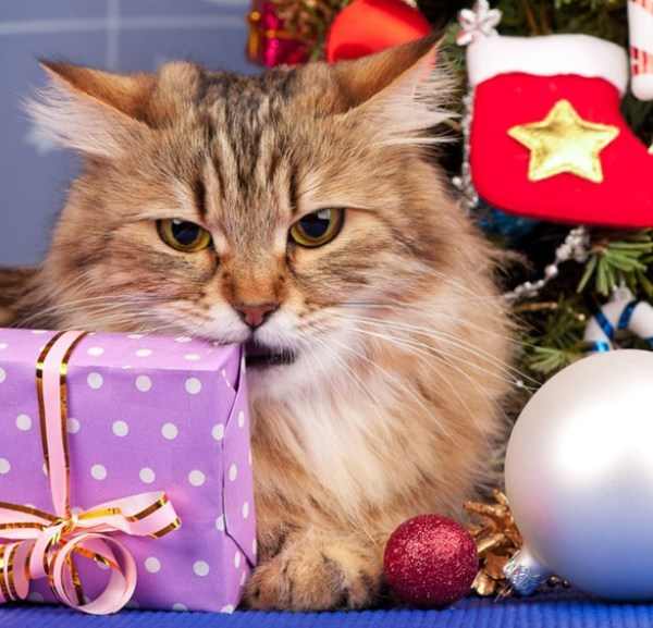 Cat chewing a Christmas present