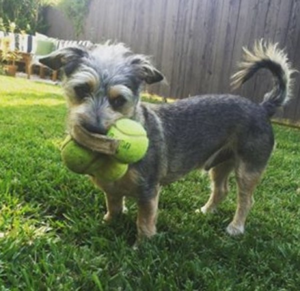 Top 10 Dogs With 3 Balls In their Mouths