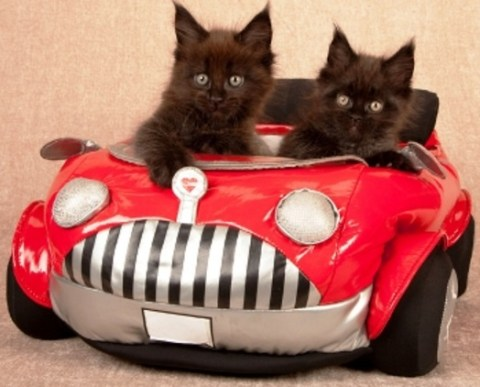 Top 10 Fully Licensed Cats Who Drive For a Living