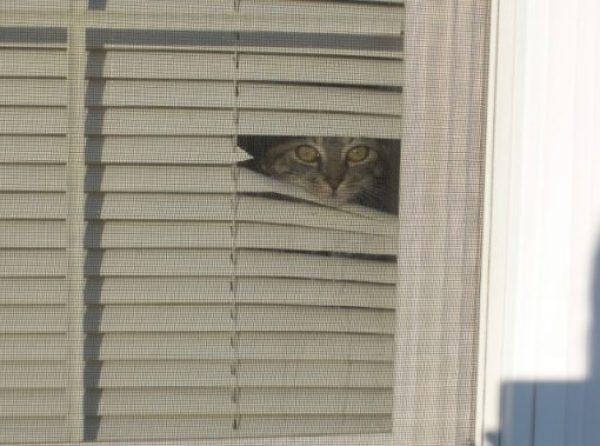 Cat Peeking Over A Blind