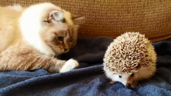 Cat About to Attack Hedgehog