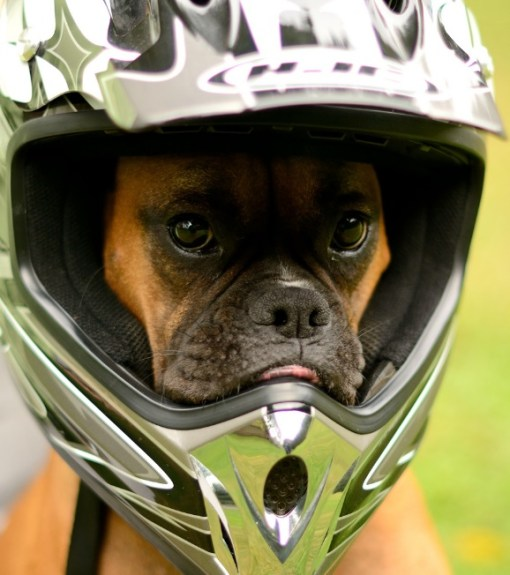 Dog Wearing Crash Helmet