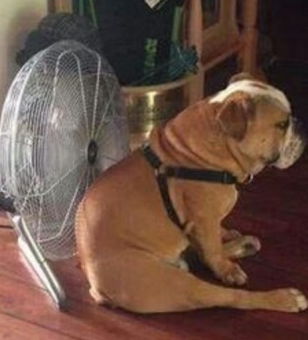 Cool Down Your Dog With a Fan