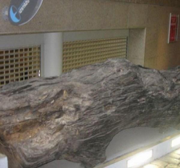 The Very Old Oak Tree, Riga