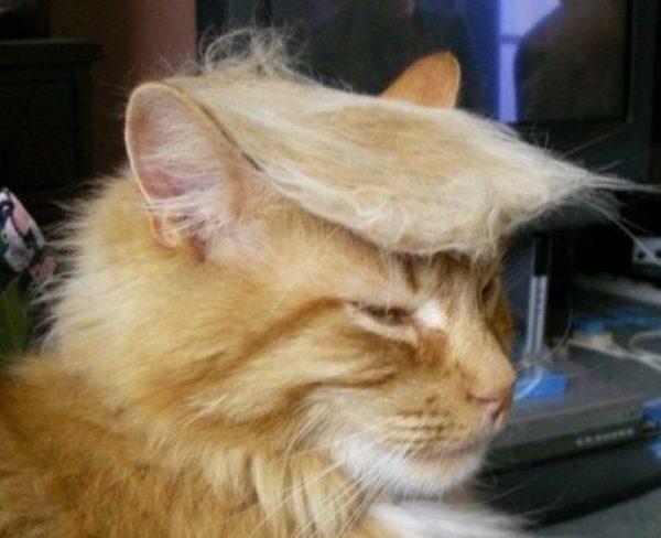 Cat Looks Like Donald Trump