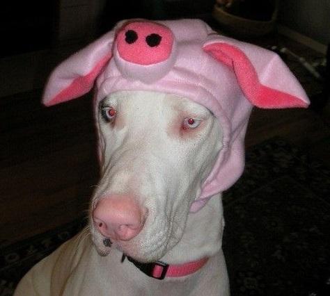 Dog Who Looks Like a Pig