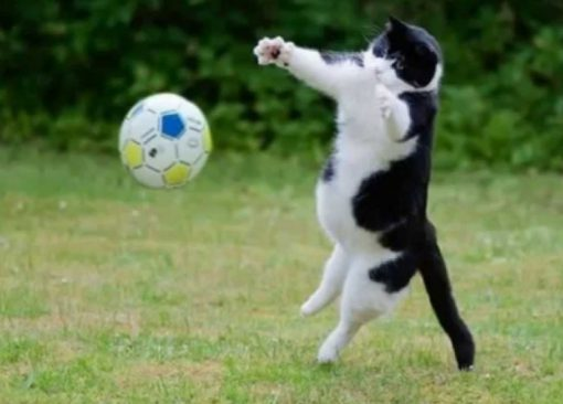 Cat Playing Football (Soccer)