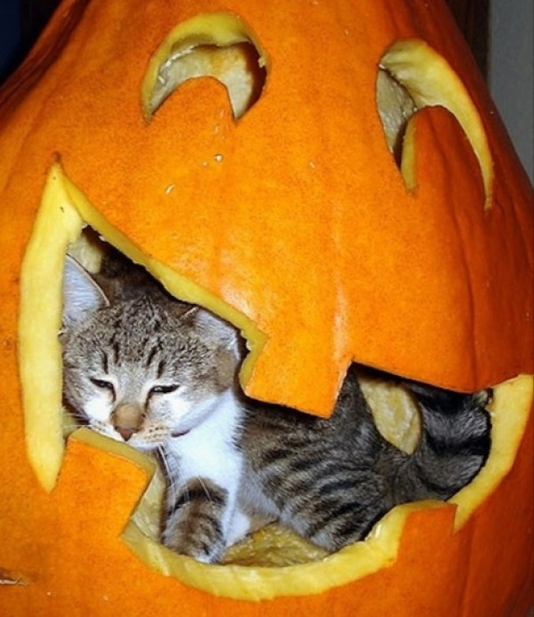 Cat In Pumpkin