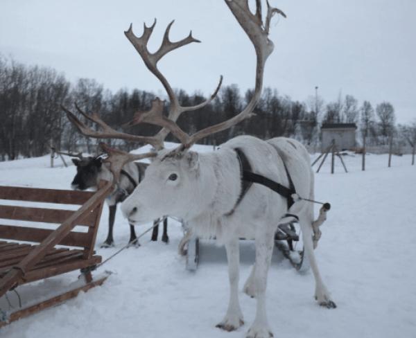 Novaya Zemlya Reindeer