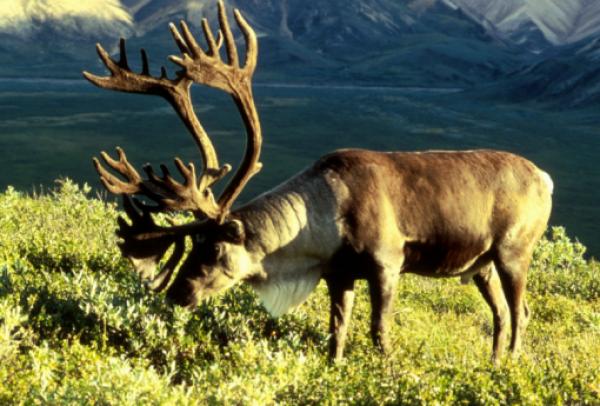 Osborn's Caribou Reindeer