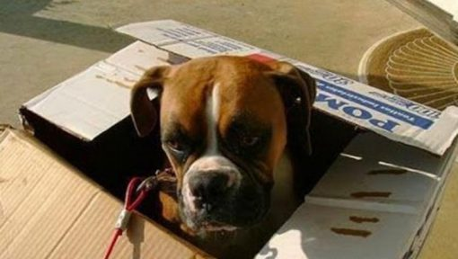 Dog in a Box