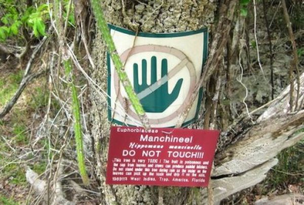 The world's most poisonous tree - North America