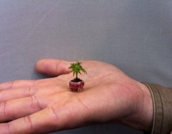 Worlds Smallest Tree the Acer Momiji - OsakaWorlds Smallest Tree the Acer Momiji - Osaka