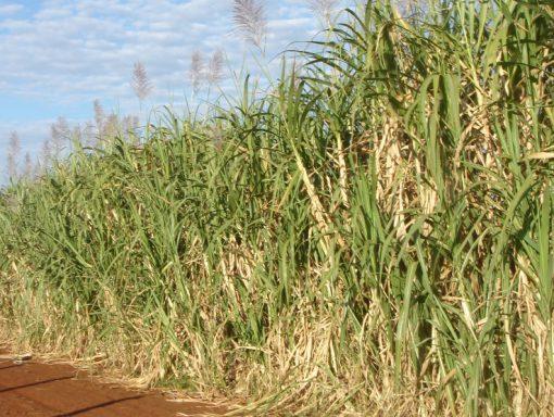 Sugar Plantation Brazil