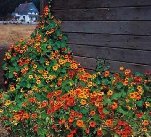 Nasturtium (Tall Single Mixed)