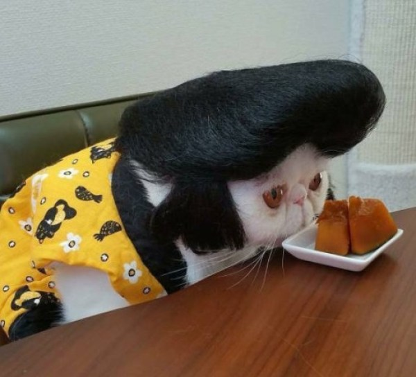 Cat Wearing a Crazy Wig/Hairpiece