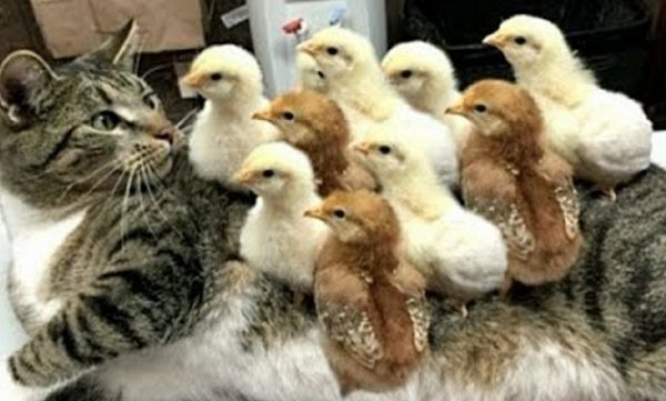 Cat Covered in Chicks
