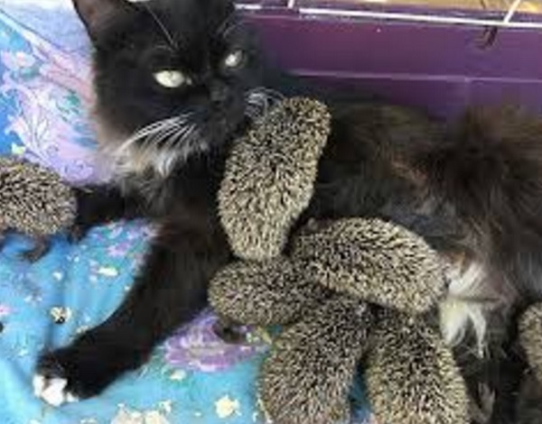 Cat Covered in Hedgehogs